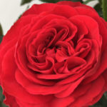 Rose King of Infinity