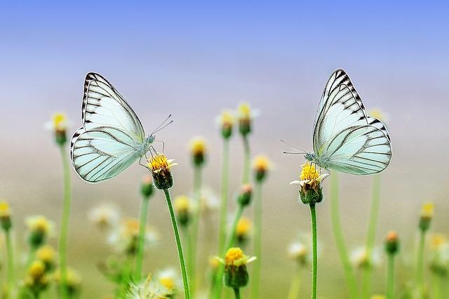 Schmetterlinge auf Blüten