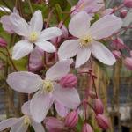 clematis-armandii-apple-blossom
