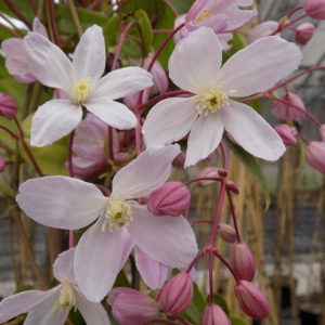 Clematis armandii Apple Blossom