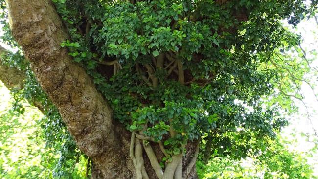 Efeu im Baum