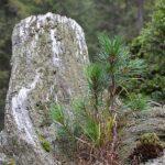 PinusCembra-Aletschwald_Juvenile-Trunk_FelixGugerli_582a1a4ca6