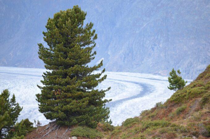 Pinus cembra in den Alpen