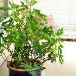 Ficus-Little Miss Figgy