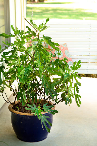 Balkonfeige Ficus-Little Miss Figgy