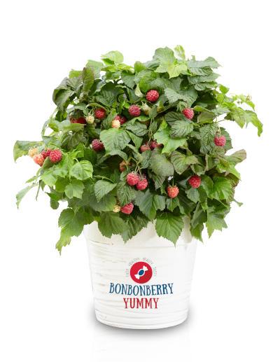 Rubus-Yummy_Pot