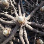 rhizome eremurus