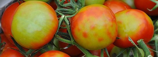 Jordanvrus auf Tomaten