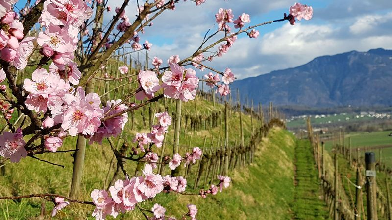 Pfirsichblüte Weinberg