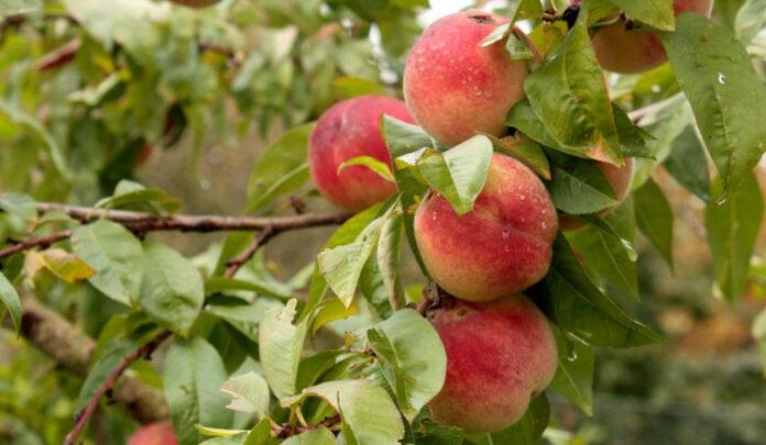 Pfirscihbaum