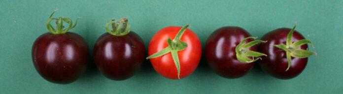 Lila Tomaten